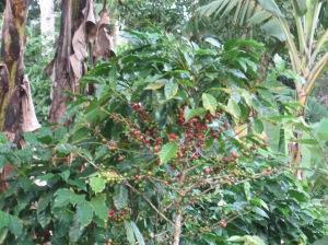 Esperanza Verde shade grown coffee