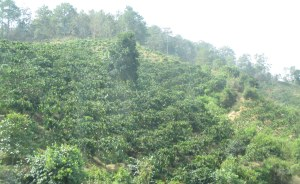 A coffee plantation in the central highlands near Buon Ma Thout.