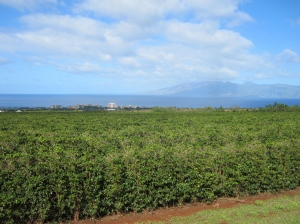 MauiGrown Coffee fields on the Kaanapali Estate near Lahaina.